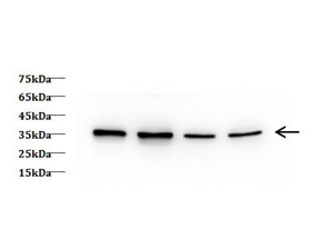 Western Blotting of Zebra Fish lysates with anti-GAPDH monoclonal antibody at dilution of 1:5000.